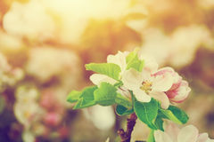 Spring tree flowers blossom, bloom in warm sun. Vintage royalty free stock photo