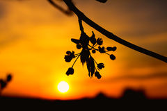 Spring tree flowers blossom at sunset Royalty Free Stock Photography
