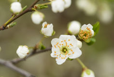 Spring tree flowers. Detail and blurred background Royalty Free Stock Image