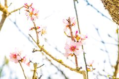 Spring tree with flowers on daily light sky Royalty Free Stock Image