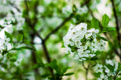 Spring tree with flowers. spring Royalty Free Stock Photography