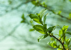 Spring tree foliage Royalty Free Stock Images
