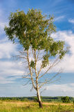 Spring tree with fresh green leaves Royalty Free Stock Image
