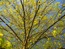Spring tree with fresh green leaves and blue sky Stock Image