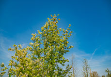 Spring tree with fresh green leaves on sunny day Royalty Free Stock Photo