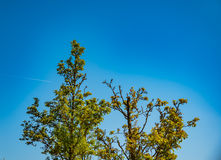 Spring tree with fresh green leaves on sunny day Royalty Free Stock Photography