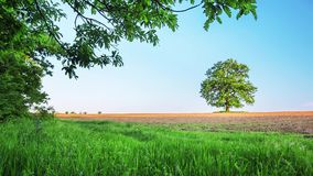 Spring tree with fresh leaves on a meadow. Video stock footage