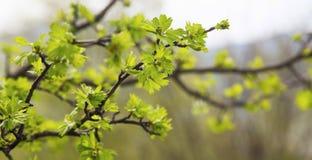 Spring tree green buds with leaves.Springtime season freshness i Stock Photos