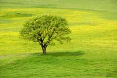 Spring tree in a green meadow Royalty Free Stock Photos