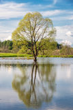 Spring tree in the lake during a high water Stock Photos