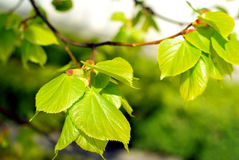 Spring tree leaves. Stock Photo