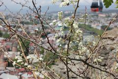 Blooming tree and city background Stock Photos