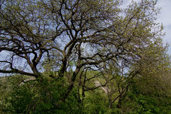 Spring tree. Spring oak tree with fresh green leaves Stock Photography