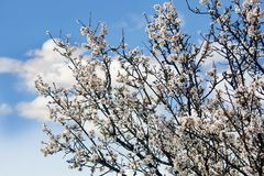 Spring tree over sky Royalty Free Stock Photo