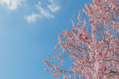 Spring tree with pink flowers almond blossom on a branch on green background, on blue sky with daily light Royalty Free Stock Image