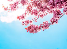 Spring tree with pink flowers almond blossom on a branch on green background, on blue sky with daily light Royalty Free Stock Photos