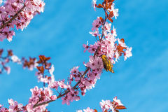 Spring tree with pink flowers almond blossom on a branch on green background, on blue sky with daily light Stock Photo