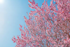 Spring tree with pink flowers almond blossom on a branch on green background, on blue sky with daily light Stock Images