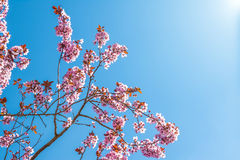 Spring tree with pink flowers almond blossom on a branch on green background, on blue sky with daily light Stock Photography