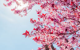 Spring tree with pink flowers almond blossom on a branch on green background, on blue sky with daily light Royalty Free Stock Photography