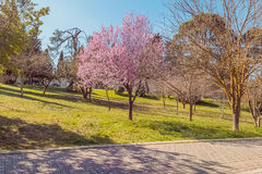 Spring tree with pink flowers almond blossom on a branch on green background, on blue sky Stock Photo