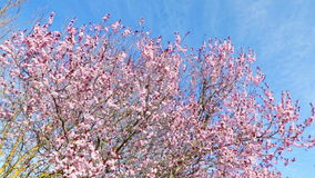 Spring tree with pink flowers almond blossom on branch with movement at wind, on blue sky with daily light stock video footage