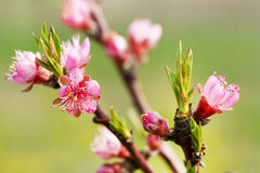 Spring tree pink flowers Royalty Free Stock Images