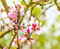 Spring tree with pink flowers on green background Stock Image