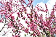 Spring tree with pink flowers. Peach Blossoms Pink royalty free stock photos