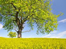 Spring tree in the rapeseed field Royalty Free Stock Images