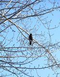 Spring in the tree, rooks Royalty Free Stock Photos