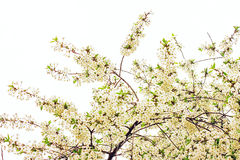 Spring tree sakura Royalty Free Stock Images
