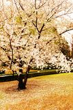 Cherry blossom tree is blossoming Royalty Free Stock Images