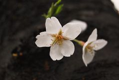 Cherry blossom tree is blossoming Stock Image