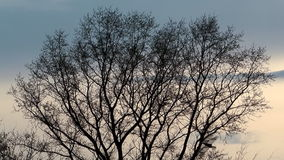 Spring tree. Silhouette of a tree against the evening sky stock footage
