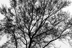 Spring Tree Silhouette. Black and white spring tree silhouette Royalty Free Stock Images