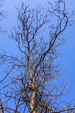 Spring tree without leaves. Spring tree with a blue sky on the background royalty free stock photos