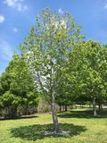 Spring tree. Sturdy tree in spring in the State of Florida Stock Images