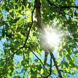 Spring tree and sun Royalty Free Stock Photo