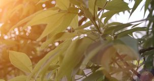 Spring tree at sunset. Backlit by warm light stock footage