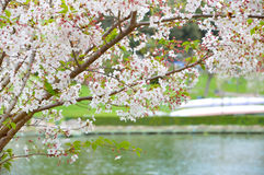 Spring tree. Spring time is coming. small blossoms and green leaves. Photo taken on: April 2014 Royalty Free Stock Images