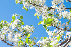 Spring tree with white flowers Royalty Free Stock Image