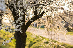 Spring tree with white flowers and green leaf Royalty Free Stock Photo