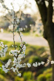 Spring tree with white flowers and green leaf Royalty Free Stock Images
