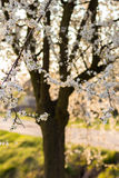 Spring tree with white flowers and green leaf Royalty Free Stock Photos