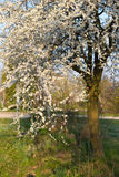 Spring tree with white flowers and green leaf Stock Photos
