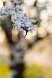 Spring tree with white flowers and green leaf Stock Photography