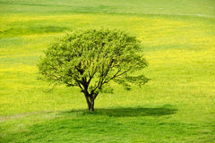 Spring tree in a yellow blossom meadow stock photos
