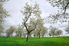 Spring Trees. Many growing trees against a cloudy sky in spring stock image