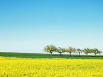 Spring with Trees. A fresh yellow (Canola) and green spring field with some blooming trees in the far line Stock Photography